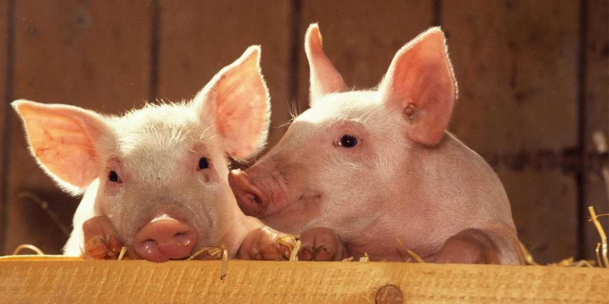 domuzlarda beslenme