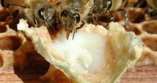 Arı Sütünün Faydaları Nelerdir